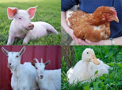 Rescued Animals at the Farm Sanctuary