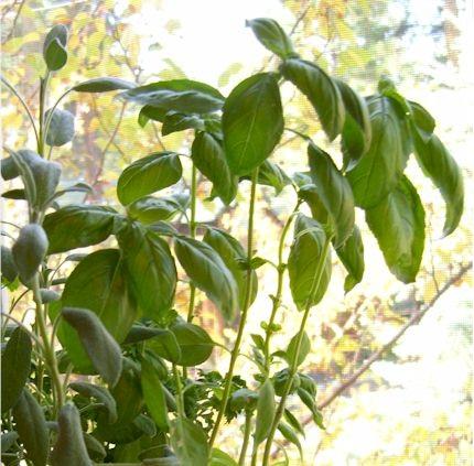 Sage & Basil Plant