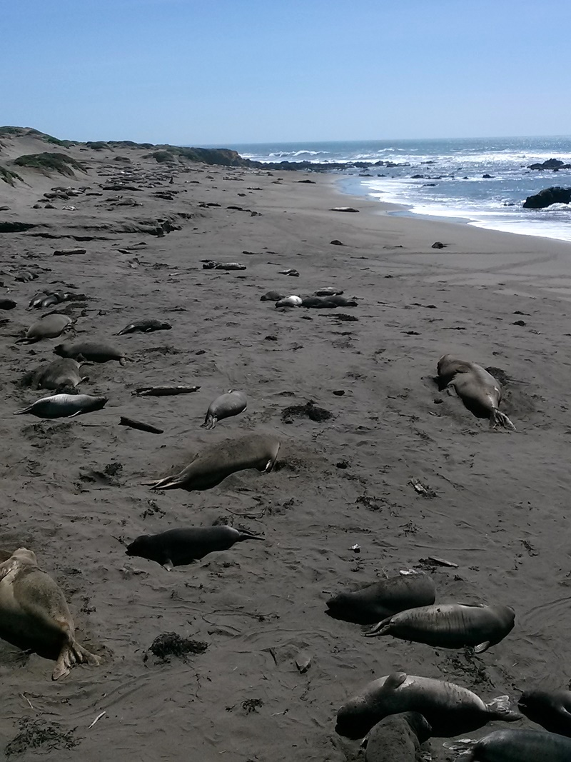 Travel: Recommended Lodging, Must See Sites and Restaurants for Dairy-Free, Gluten-Free & Vegan Patrons on the California Central Coast (pictured: Piedras Blancas Elephant Seal Rookery - massive seal viewing!)