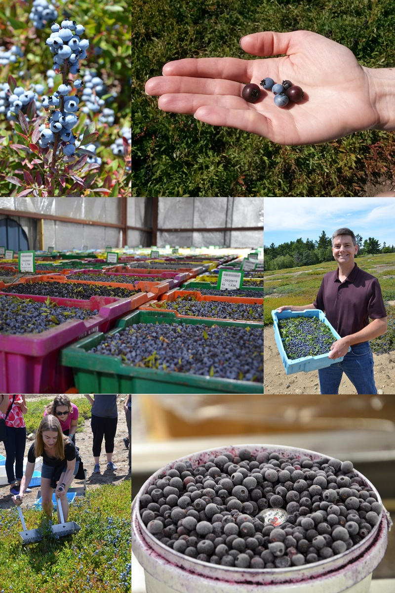 The Benefits of Wild Blueberries + 21 Wild Blueberry Smoothie Recipes